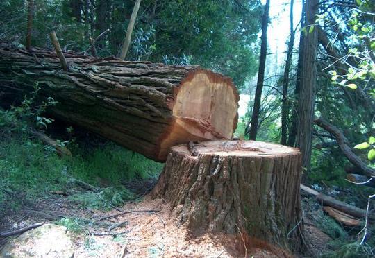 İki ağac kəsdi, 2 min manat cərimələndi