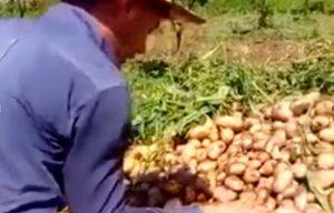 Kartof kəskin ucuzlaşdı, cəlilabadlı fermer ağı dedi