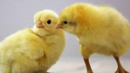 Yumurtaları zibilliyə atdılar, onlarla cücə çıxdı – Gürcüstanda maraqlı hadisə/ VİDEO